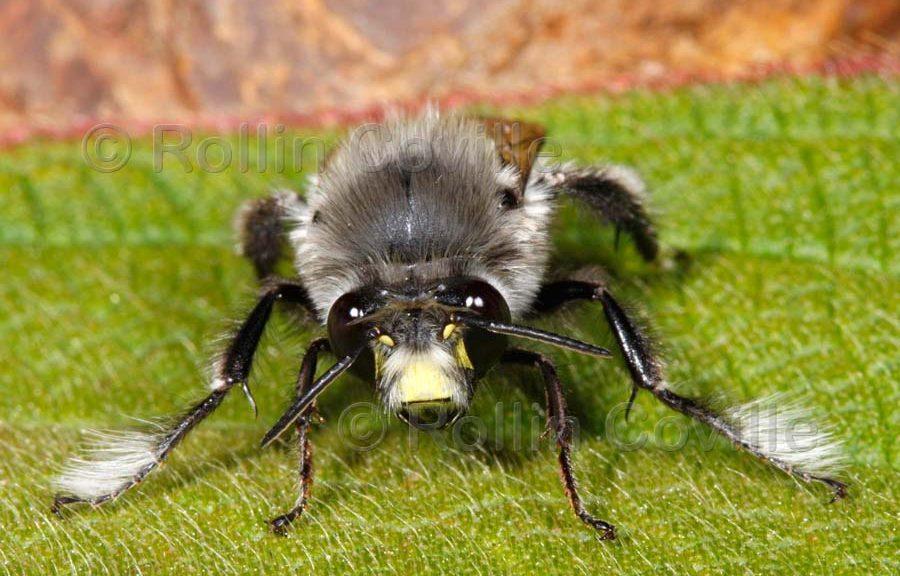 Male of Anthophora pacifica Cresson - Image - (C) Robin Coville